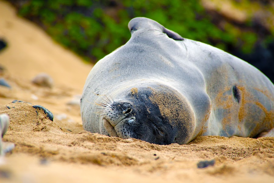 monk seal by Michael Guerrero - Animals Sea Creatures ( nature )