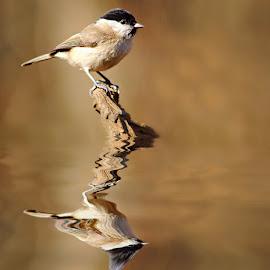 Mésange nonette by Gérard CHATENET - Animals Birds