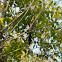 grey treepie, Himalayan treepie,