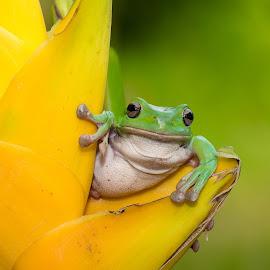 by Eko Probo D Warpani - Animals Amphibians ( colour, animals, wild life, nature, color, frog, indonesia, d7100, nikkor, nikon, kodok, amphibians, animal )