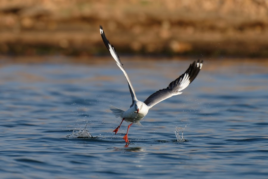 Grey-headed Gull by Alun Marchant - Animals Birds ( zimbabwe, gull, catching fish, lake kariba, grey-headed gull, food, zambezi )