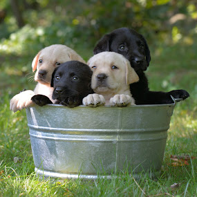 Love Bucket by Tara Chumsae - Animals - Dogs Puppies ( labrador retriever, babies, labs, puppies, animals, dogs, pets, lab puppies, baby animals, baby, young, animal,  )