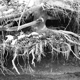 Unexpected grounding by Marsha Grimm - Black & White Landscapes ( snow, tree, winter, roots, beauty in nature )
