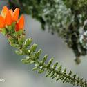 Flor de chachafruto