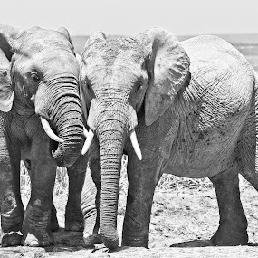 Brothers in Arms by Anne-Marie  Fuller  - Animals Other Mammals ( nature, nature up close, elephants, nature photography, wildlife,  )