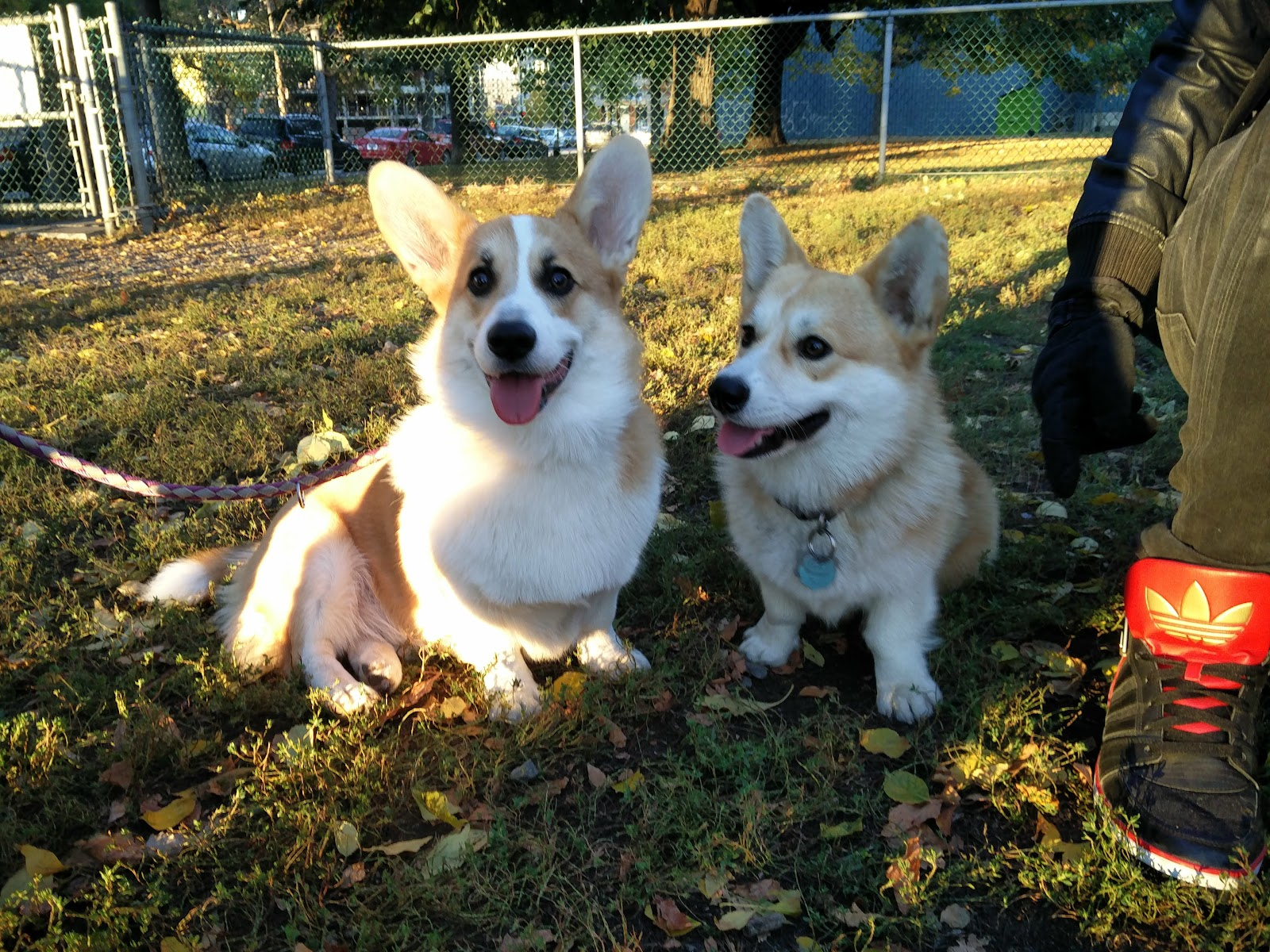 Corgi couple at the Griffintown dog park in Montreal