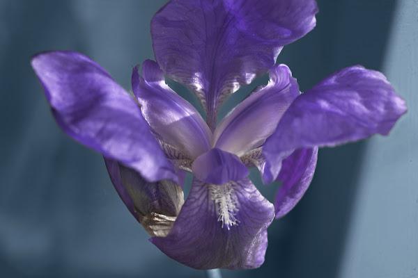 Iris violet di Pinco_Pallino