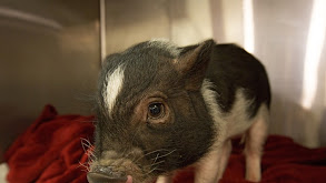 Pot-Bellied Pig Out thumbnail