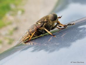 Photo: Dark Giant Horsefly (Tabanus sudeticus)