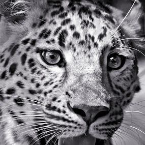by Brook Kornegay - Black & White Animals ( big cat, black and white, lepard,  )