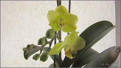 Photo: Orhidee (Orchidaceae) - de pe Calea Victoriei, B15 - 2019.03.14