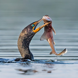 Cormorant with dogfish by Carl Albro - Animals Birds ( double-crested cormorant, bird, fish, cormorants )
