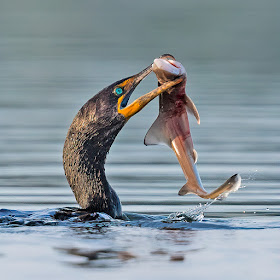 Cormorant with Dogfish 8212.jpg