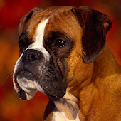 Boxers Dog Wallpapers