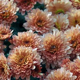 Chrysanthemum- MULTI COLOR by Debanjan Goswami - Uncategorized All Uncategorized (  )