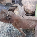 Indian Kangaroo Lizard