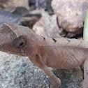 Indian Kangaroo Lizard