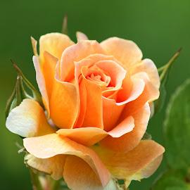 Flower 513 by Raphael RaCcoon - Flowers Single Flower