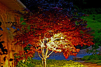 Photo: Lighting this maple lights the garden and the path. Light can serve many purposes at the same time.