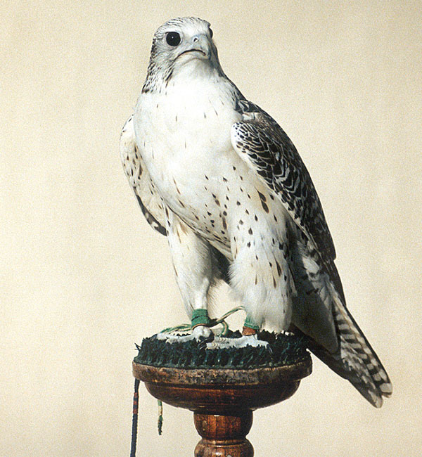 The saker falcon (Falco cherrug) is the most popular species used in the sport of falconry in the Middle East