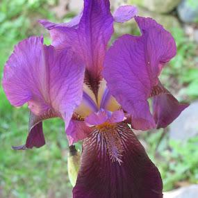 Purple,my Favorite by Debra Rebro - Flowers Single Flower (  )