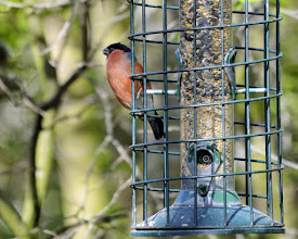 Photo: Bullfinch