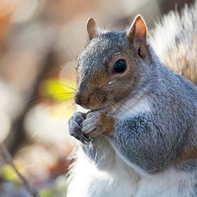 Snack Time by Antonio Winston - Novices Only Wildlife ( outdoor, eastern gray squirrel, wildlife, pennsylvania, squirrel, animal, antonio winston,  )