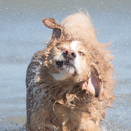 Splash by Peter M  - Animals - Dogs Playing
