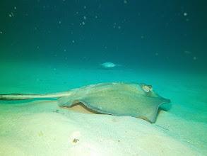 Photo: Southern Stingray