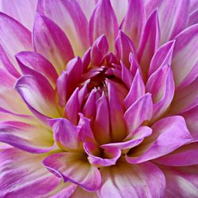 Dahlia by Michael Schwartz - Flowers Single Flower (  )