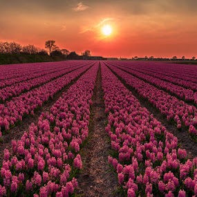 Holland! by Marlou Nijpels - Flowers Flower Gardens ( colourful, sunset, holland, dutch, flowerfields, pink, bulbs, hyacinth,  )