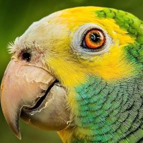 Yellow Boy by Ken Nicol - Animals Birds (  )