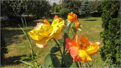 Photo: Trandafir (Rosa) - din Turda,  Parcul Bisericii Ortodoxe de pe Calea Victoriei - 2019.07.09