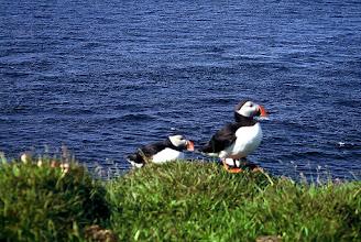 Photo: Fiordy Zachodnie, półwysep Látrabjarg, maskonur / The Westfiords, Látrabjarg peninsula, a puffin