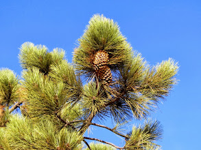 Photo: Coulter pine (Pinus coulteri)