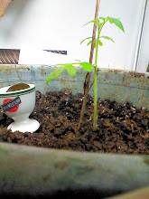 Photo: Mortgage lifter tomato vine start from seed
