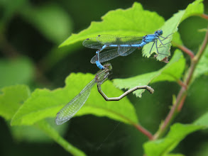 Photo: 30 Jun 13 Priorslee Lake: This different pair have yet to 'get it together'. (Ed Wilson)