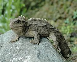 Image result for tuatara