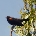 Red winged black bird (male)