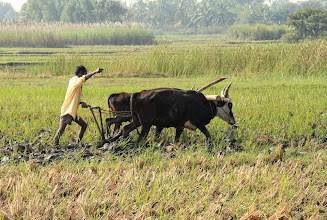 Photo: A piar of oxen pulling a old fashined plough in a rice field near Hassan in India. The small time farmers are still using this mode of agriculture in parts of India