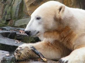 Photo: Knut ist nun wach und bespielt ein Stoeckchen :-)