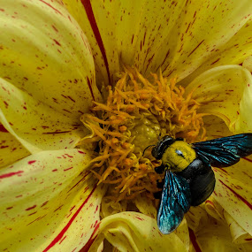 Carpenter Bee on Dahlia by Prabir Adhikary - Animals Insects & Spiders ( flower witha a bee, contrasting colours, dahlia and carpenter bee, insect on flower, carpenter bee, polination,  )