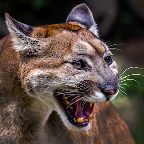 Cougar in heat by Jorge Pacheco - Animals Lions, Tigers & Big Cats (  )