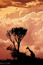 "Photo: Giraffe Silhouette Masai Mara, Kenya, Africa  The dramatic skies of the Masai Mara were surrounding us towards the sunset hours in Kenya. After a day of seeking out cheetahs, elephants and leopards we had time to observe this giraffe browsing along the hilltop amongst the iconic shape of the Euphobia tree.  Photographic Details: Silhouettes are some of the most illustrative and powerful compositional elements in a photographers repertoire. Throwing away the distraction of colour texture and exposure you are simply left with a figure that forces the viewer to concentrate on body language, posture, and shape. With the lack of detail the viewer's imagination is put to work perhaps causing them to linger a little longer. In addition a silhouette photo like this provides a stark contrast in detail with the perfectly exposed sky (underexposed by two stops) all the textures and beauty in the cloud formation is preserved in a hyper real fashion.  There wasn't as much colour as I liked so I employed some colour graduated filters. I think of these as ""sunglasses for my camera"" that provide a colourful gradient that can enhance or even introduce colours much like putting on a pair of rose coloured sunglasses.  If you like this please share!  This is also available on my smugmug for print: http://kylefoto.smugmug.com/Animals/Africa/19644918_hpCKDK#1554516357_mBKRfCP  #plusphotoextract"