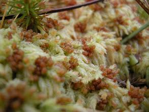 Photo: Sphagnum palustre - Sumptorvmose i vinterdrakt