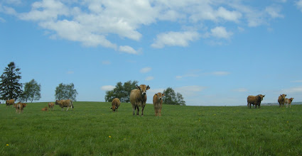 Photo: Les vaches Aubrac