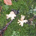 Ramaria Coral mushroom