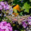 White Lined Sphinx Moth
