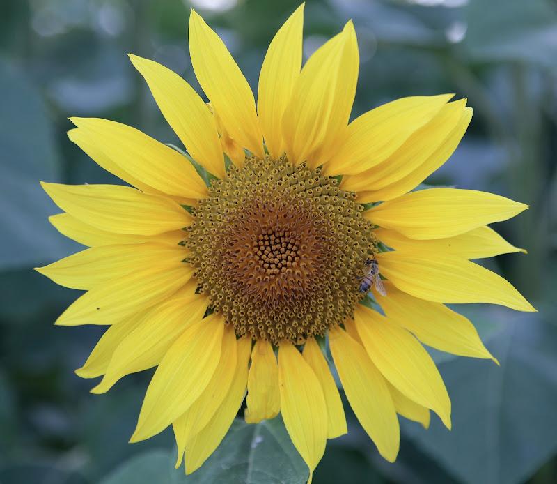 Il fiore del sole di clpss