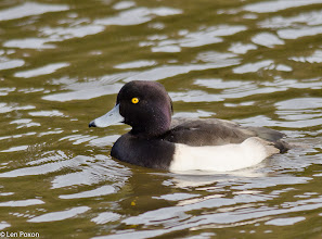 Photo: Tufted Duck (m)